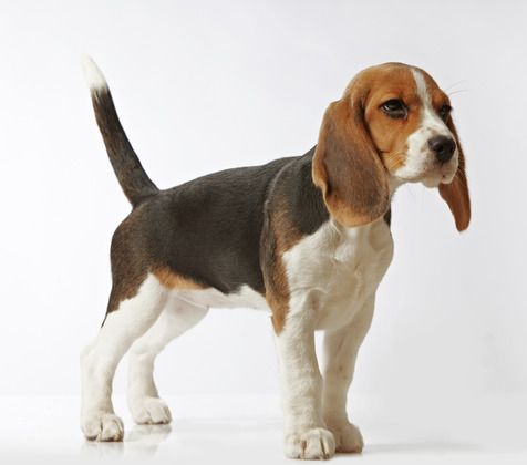 Beagle Hound Photo Beagling Your Way With The Beagles Beagle