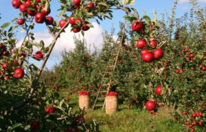 Sennik On Line Najlepszy Zbior Snow W Internecie Net Sennik Pl Growing Apple Trees Apple Tree Apple Harvest