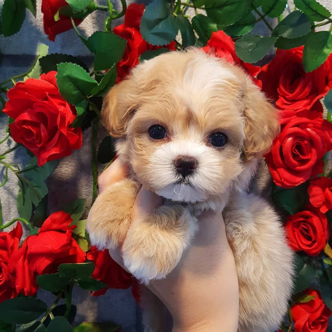 Craigslist Puppy Near Me - Idalias Salon