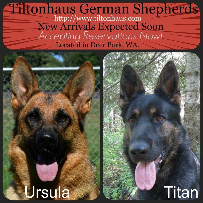 Expecting Top quality AKC German shepherd puppies Ursula
