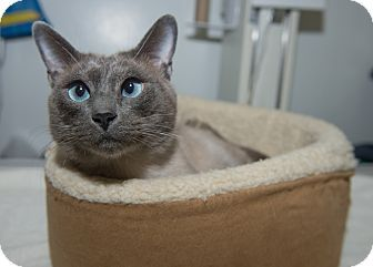 Adopted Nathan A Siamese Cat Up For Adoption At The Humane