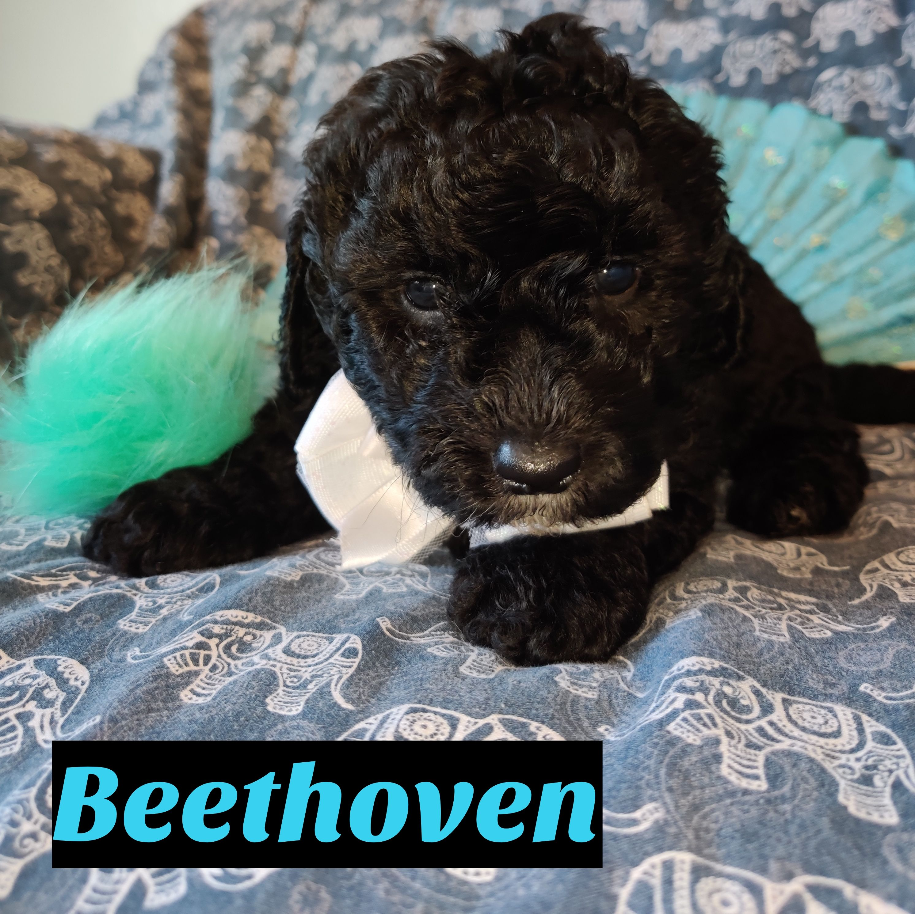 Beethoven Mini Goldendoodle doggie for sale near Saint