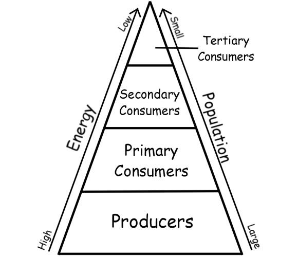 Significant Levels Of Energy Pyramid Ecosystem Energy Pyramid