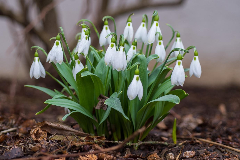 Snowdrops April 8 2015 Deer Resistant Flowers Garden Bulbs Seasonal Flowers