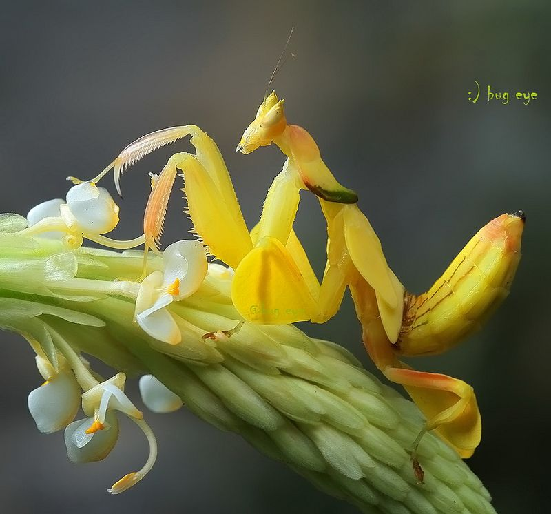 Yellow Orchid Mantis Hymenopus Coronatus ต กแตนตำข าวกล วยไม ส เหล อง Orchid Mantis Bugs Insects Cool Insects