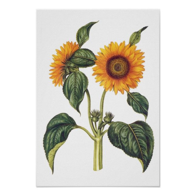 Helianthus annuus poster | Zazzle.com