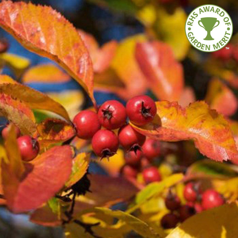 paul\'s scarlet hawthorn - Berries and fall color | Brands ...