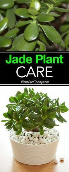 Photo of The jade plant, care for these small, sturdy succulents is simple and the Crassu…