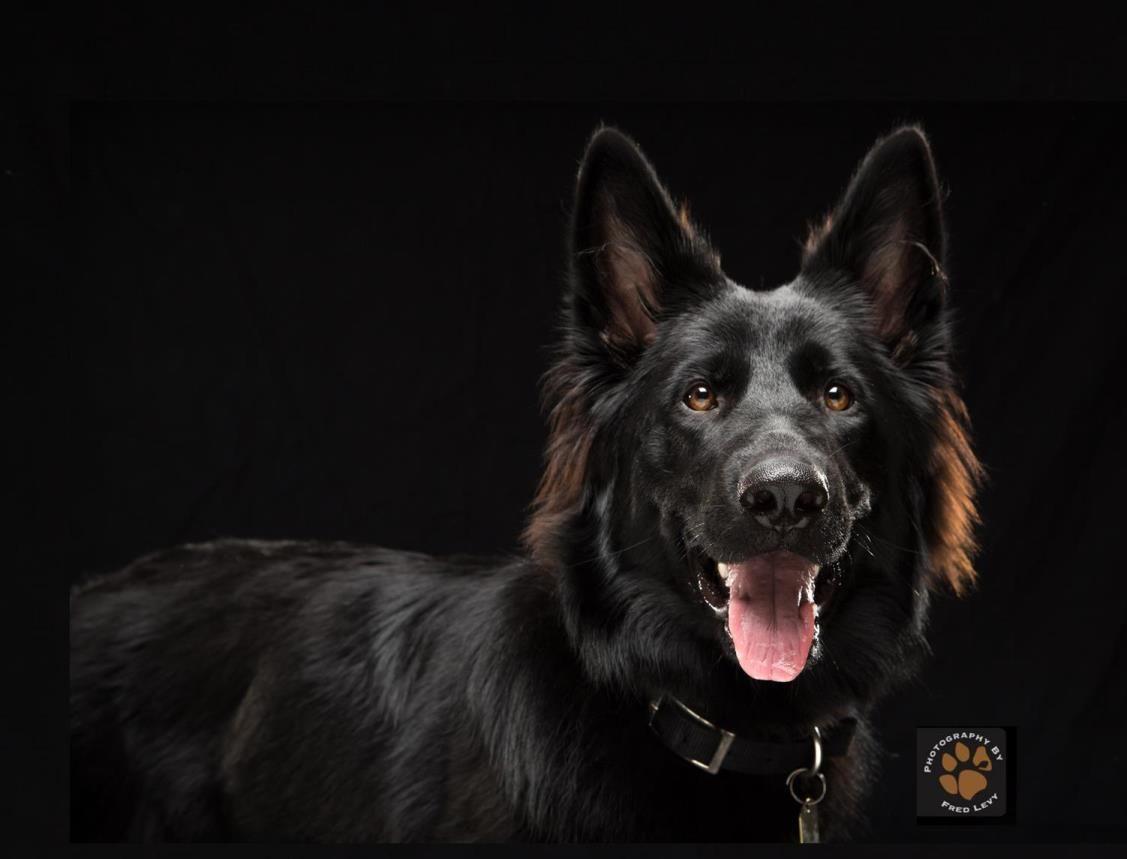 Fred levy photography kenai german shepherd dog