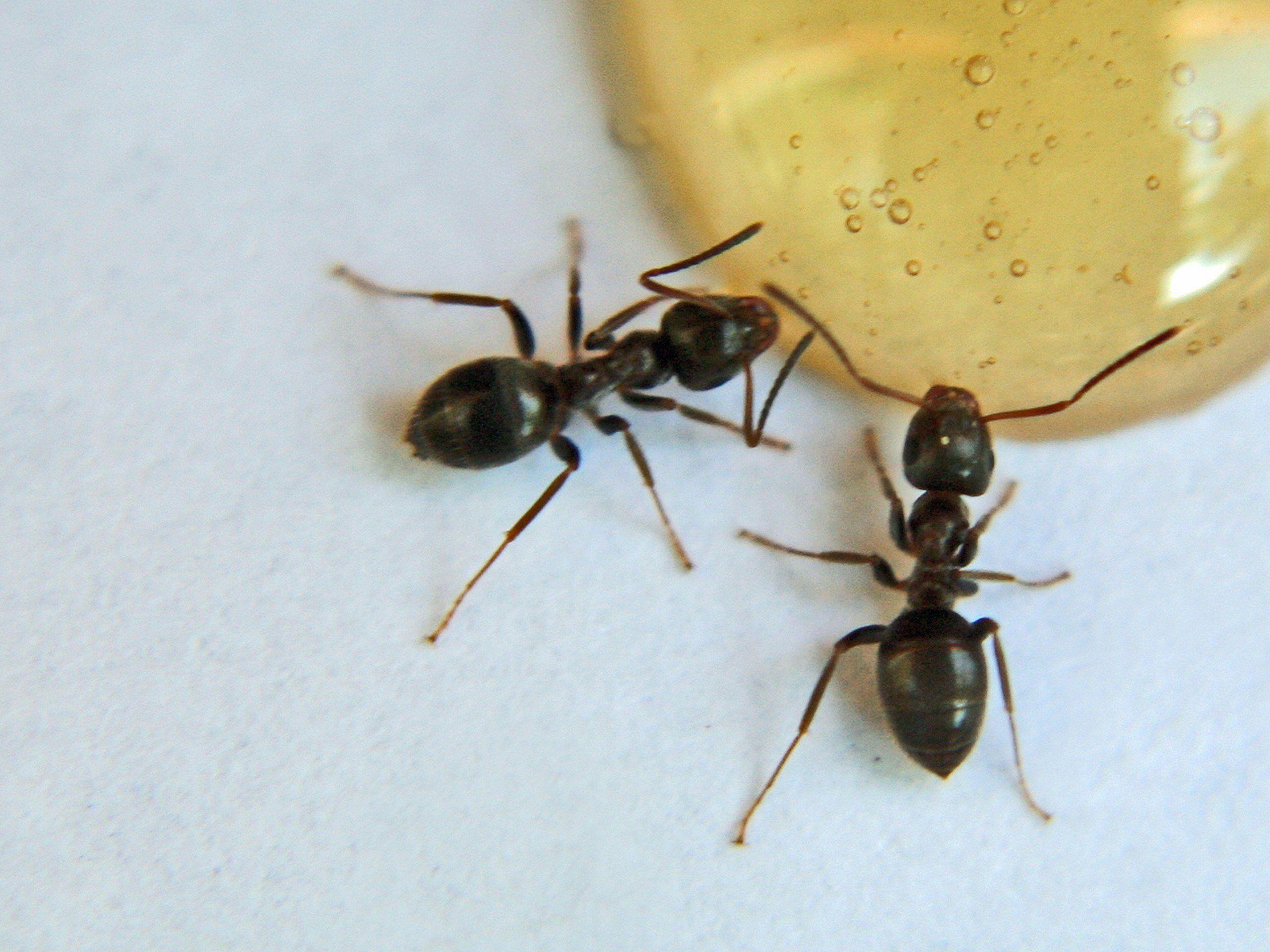 Best Ways To Get Rid Of Sugar Ants Sugar Ants Termite Control Rid Of Ants