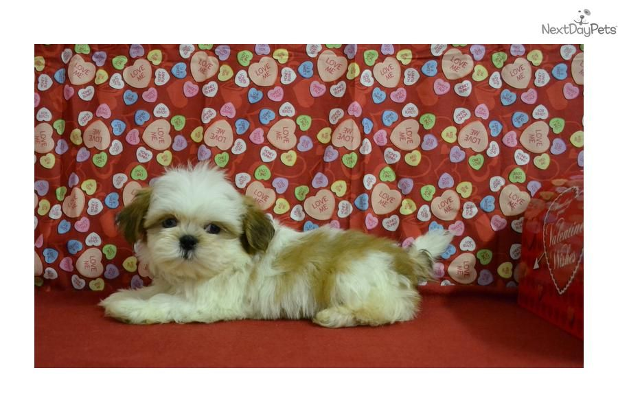 Meet Owen A Cute Shih Tzu Puppy For Sale For 500 Very Unique