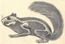 animal skeleton diagrams google search illustrating illuminating rh pinterest com Squirrel Life Cycle Diagram Squirrel Anatomy Diagram