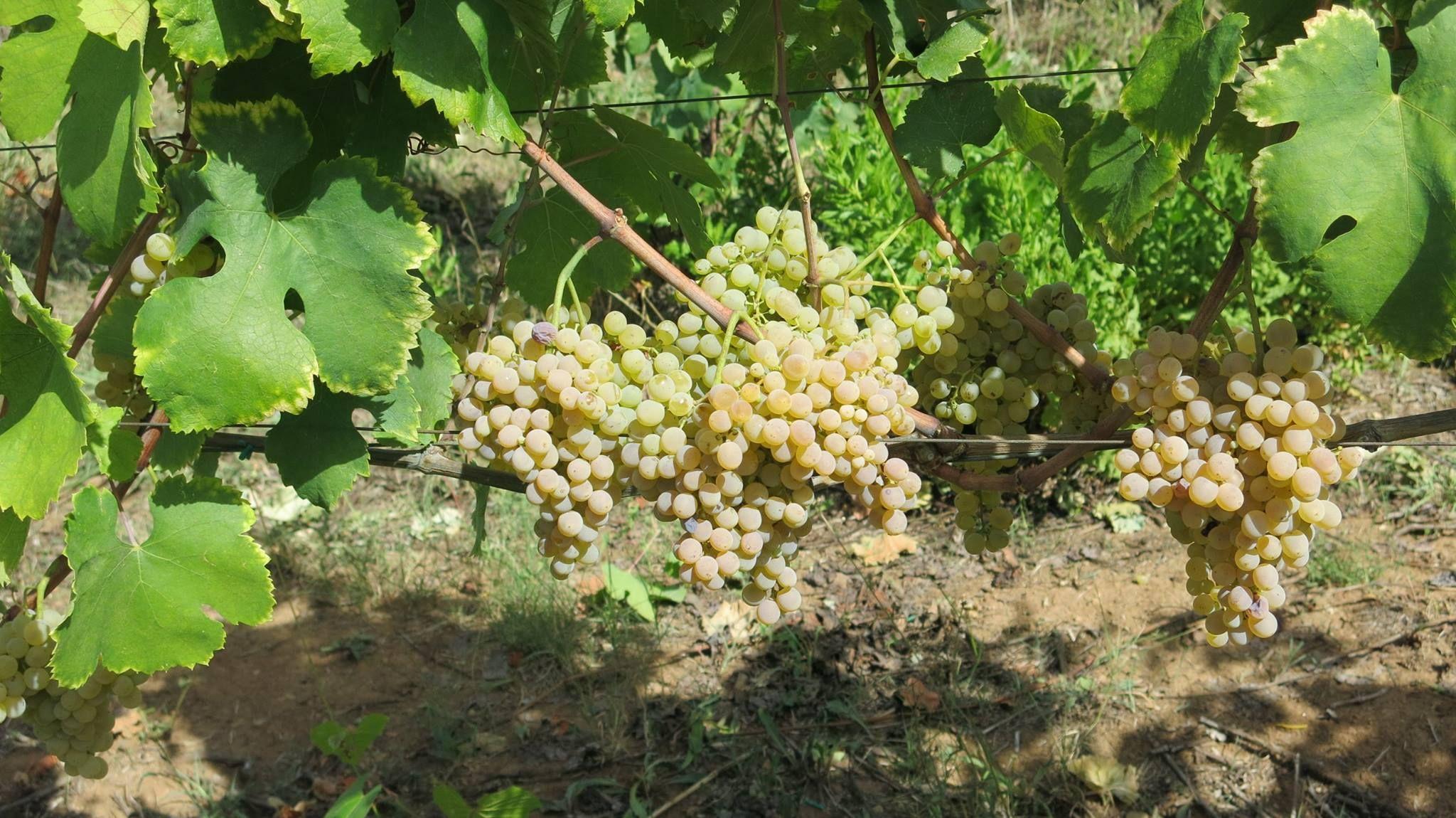 Grappoli di uva Fiano, Cilento