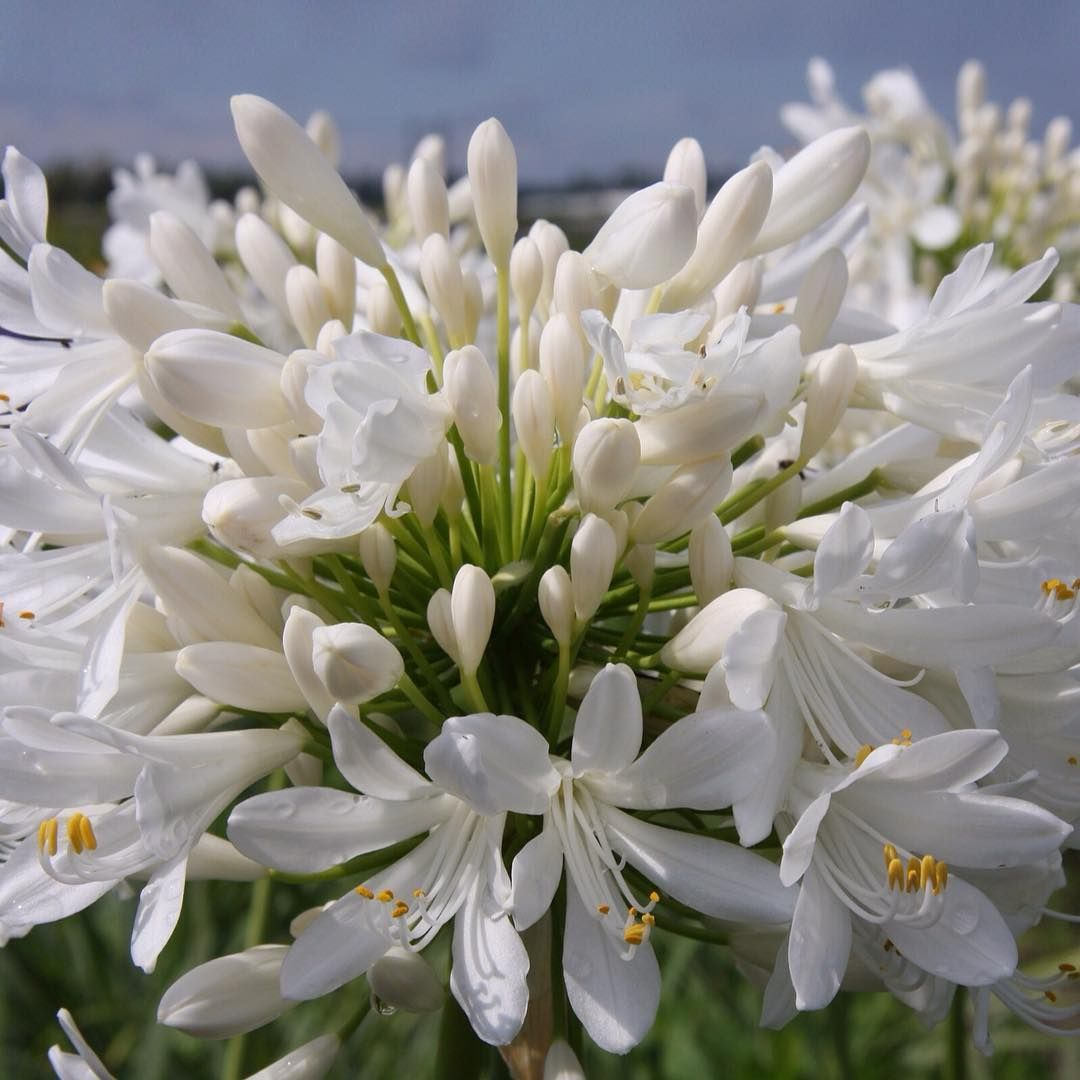 Qvc Uk On Instagram We Re Wishing It Could Be Spring Already This Agapanthus White Superior Bare Root Flower Photography Art Agapanthus Flowers Photography