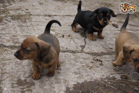 Miniature Dachshund X Jack Russell Pups Dachshund Pup Mini