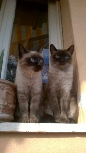 Pin By Victoria Smith On Pyewacket My Siamese Cat Breeds Siamese