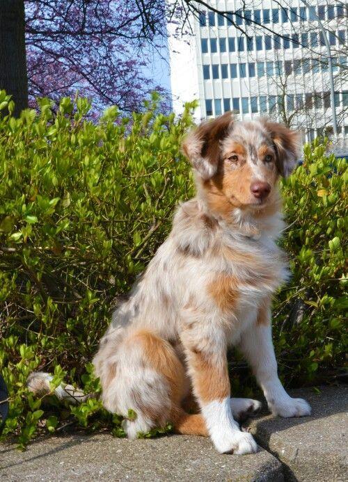 Australian Shepherd Red Merle Western Aussie Yuna Jimdo Com