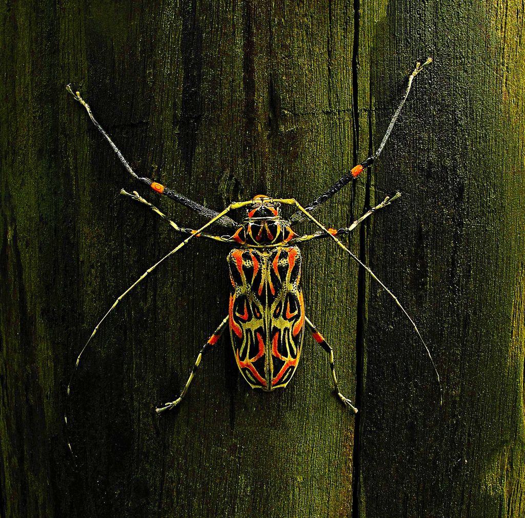 Todos os tamanhos   Besouro-da-figueira / Harlequin beetle (Acrocinus longimanus)   Flickr – Compartilhamento de fotos!