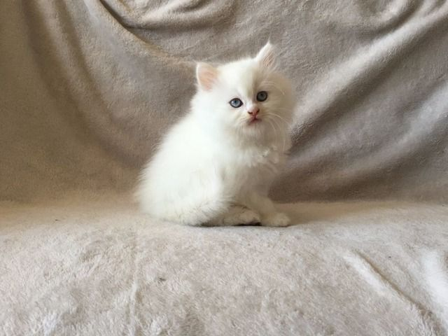 2 white Chinchilla Persian Kittens available