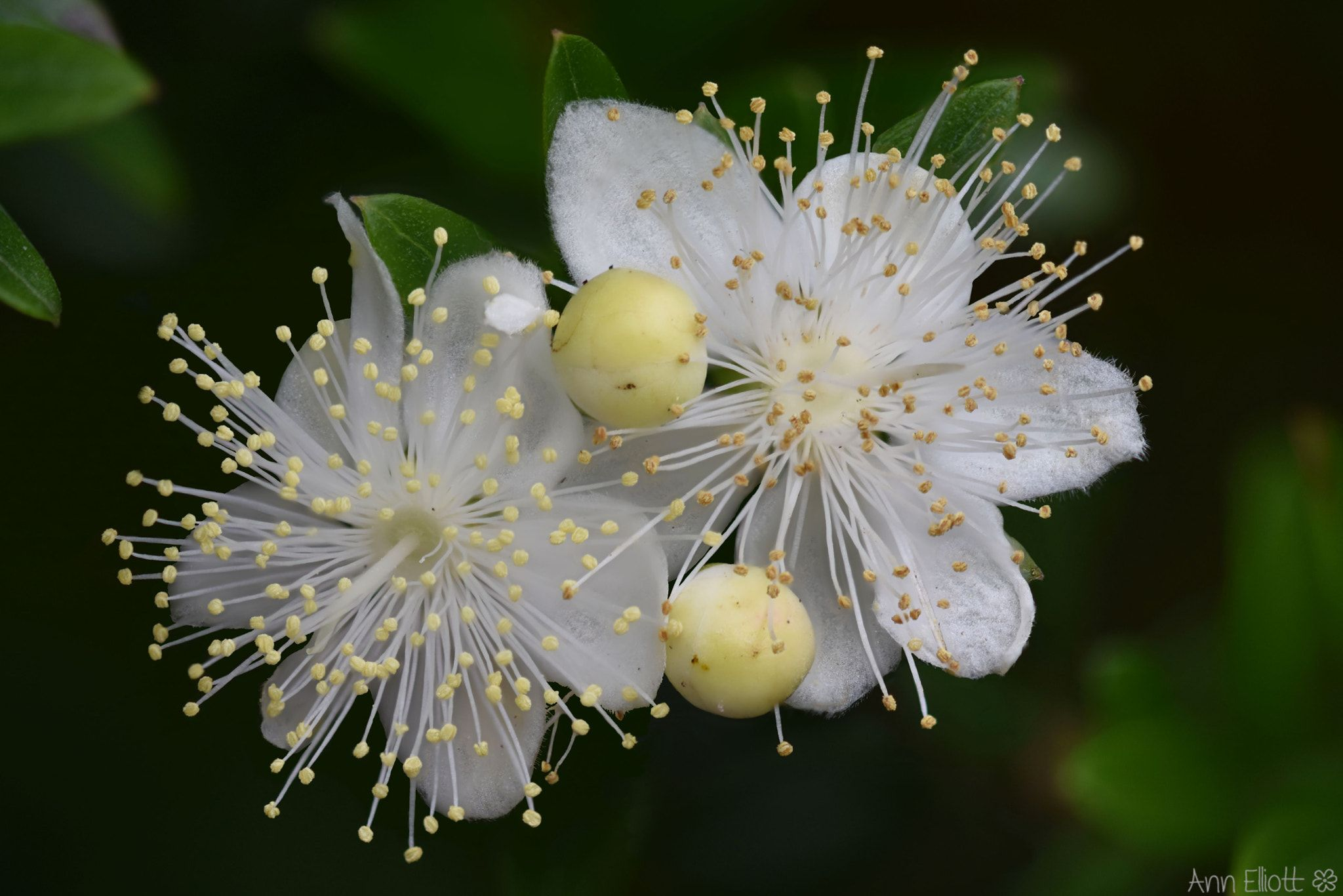 Myrtus Communis Myrtus Communis Commonly Known As The Common Myrtle It Is An Evergreen Shrub Native To Mediterranean Regions Photographed In The Mediterra