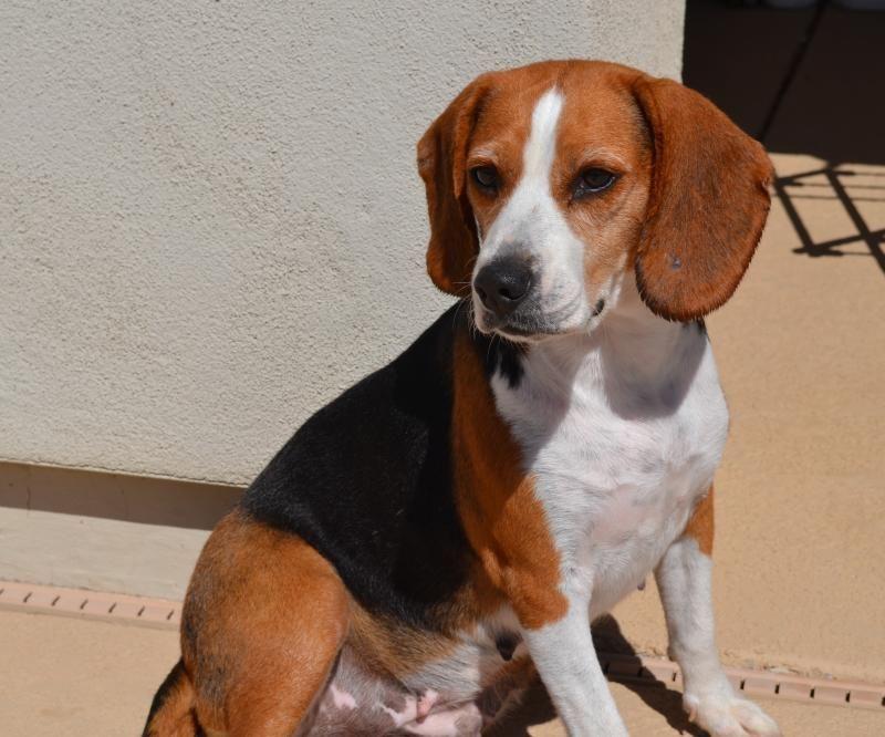 Adopt Nixie On Beagle Calm Dog Breeds Beagle Dog