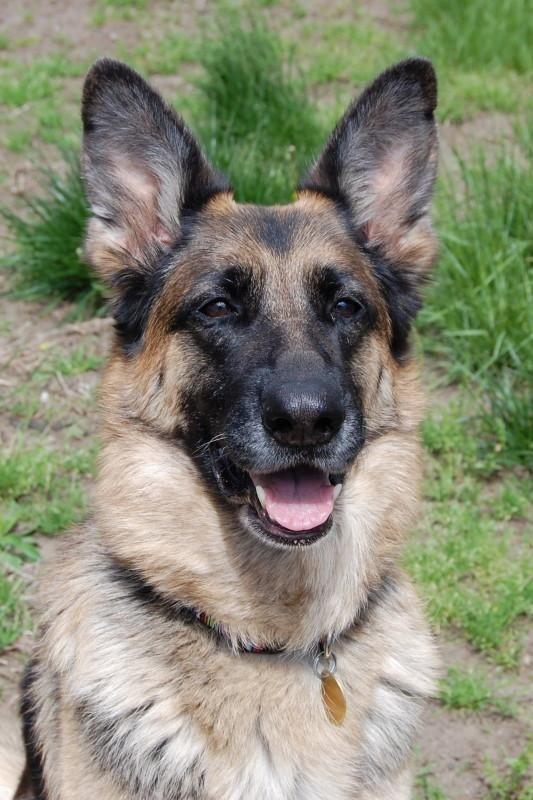 Adopt Crystal On Dogs Animals Shepherd Dog