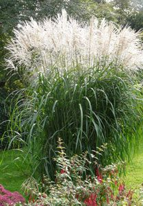 miscanthus sinensis 39 gro e font ne 39 chinaschilf meine gartenideen pinterest grasses. Black Bedroom Furniture Sets. Home Design Ideas