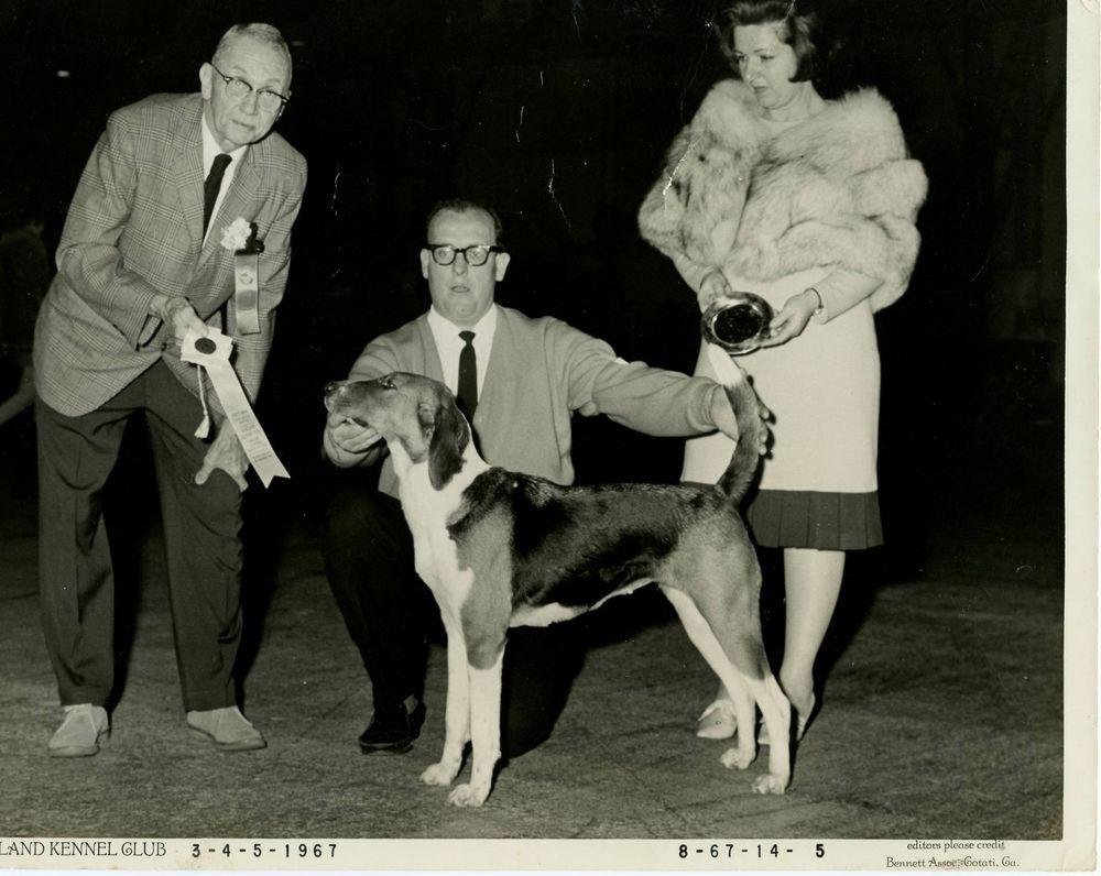 VTG 1960s dog show Photo 8X10 Hound AmericanFoxhound