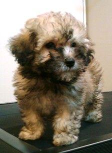 Nena As A Baby She Is A Sable Maltipoo Maltipoo Dog Maltese