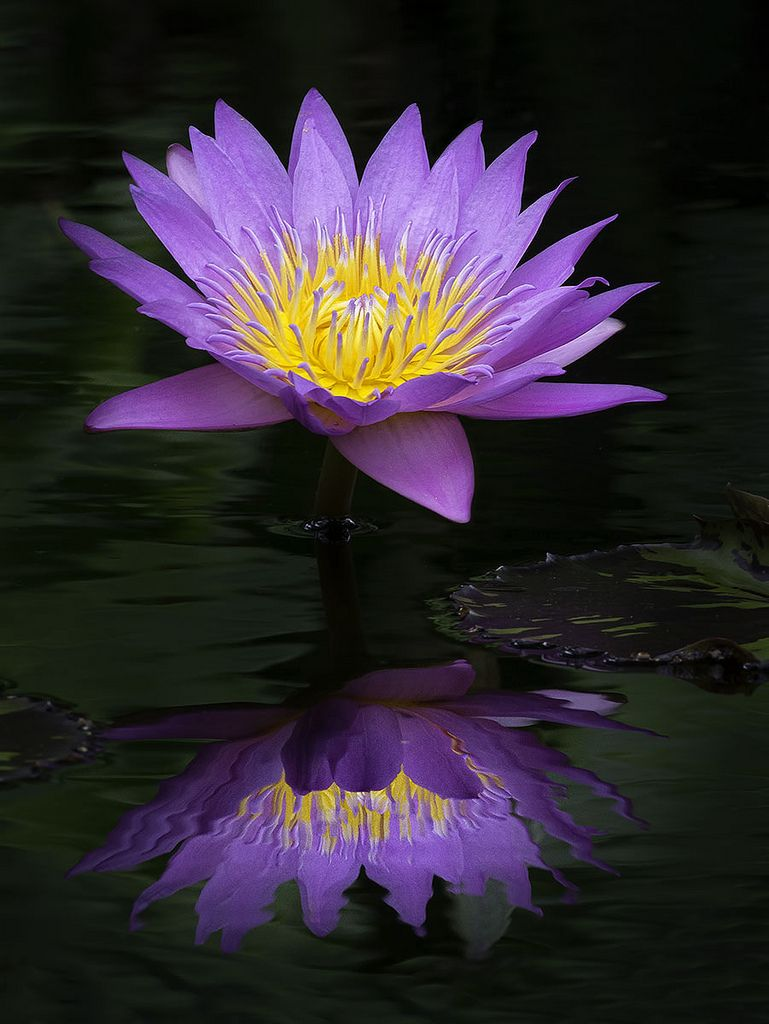 Water Lily Refelection Fairchild Tropical Botanic Garden Floral
