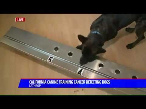 California Canine Training Cancer Detecting Dogs in Lathrop - WATCH VIDEO HERE -> http://bestcancer.solutions/california-canine-training-cancer-detecting-dogs-in-lathrop    *** dogs diagnose cancer ***   California Canine Training Cancer Detecting Dogs in Lathrop Video credits to the YouTube channel owner