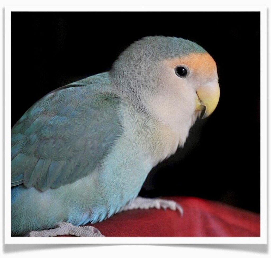 Lovebirds Blue Peach Faced In 2020 Love Birds Pet Love Birds Blue Peach