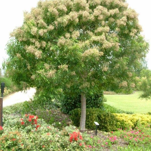 Fraxinus Griffithii – Evergreen Ash Leafland 400 x 300