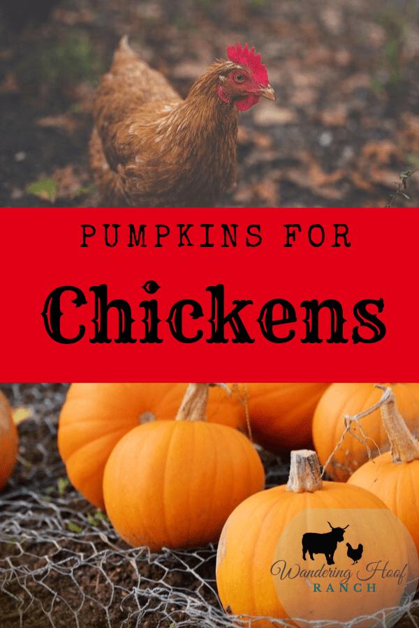 Pumpkins for Chickens Pumpkin, Chickens backyard