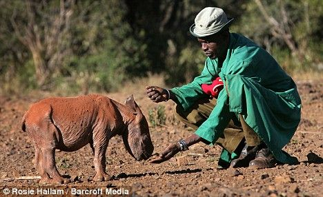 The abandoned baby rhino afraid to leave his keeper's side