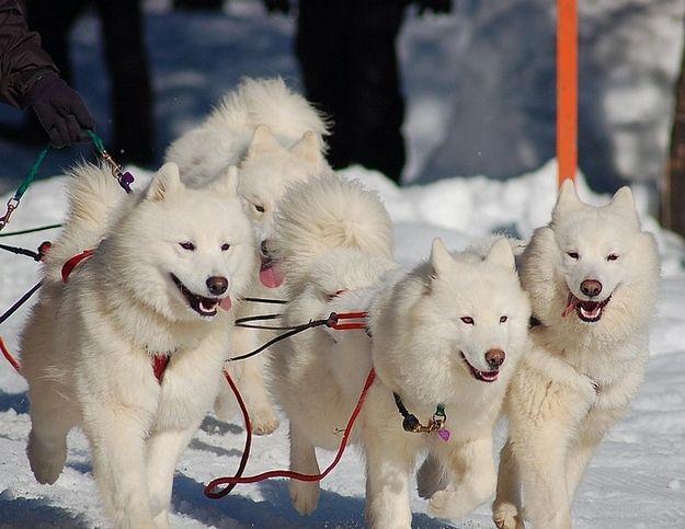 The Dogs Of Iditarod Alaska Dog Dogs Samoyed Dogs