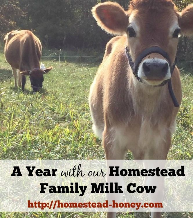 Do you dream of getting a family milk cow? Along with amazing milk and sweet cow kisses, there have been some challenges and surprises. In this post, I share how our first year with our Jersey cow went! | Homestead Honey
