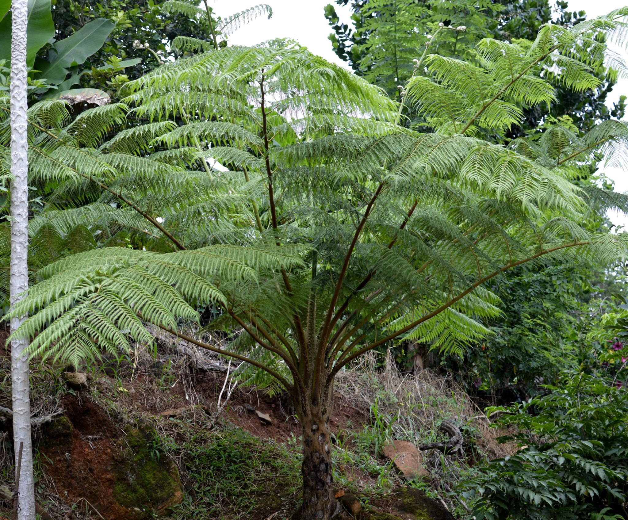 Fern tree growing in my backyard More photos/pins on my ...