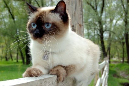 Siamese Cat Siamese Cats Facts Popular Cat Breeds Most Popular Cat Breeds