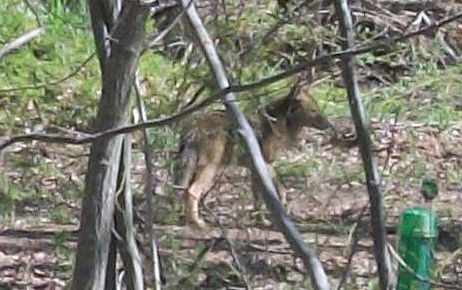 Close up of a Coyote in the woods by my house.