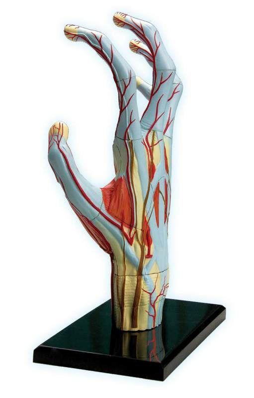 4d Hand Anatomy Model Hands On Anatomy Activities