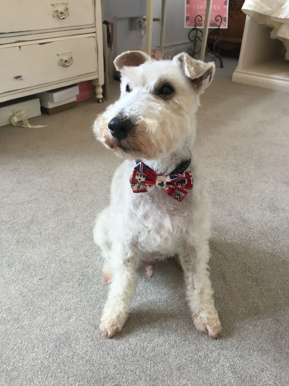 Eric is all ready for my son's wedding on Saturday he has a new bow tie and has had his summer clip.such a handsome boy