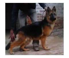German Shepherd Female Fully Trained Dog Available For Sale In
