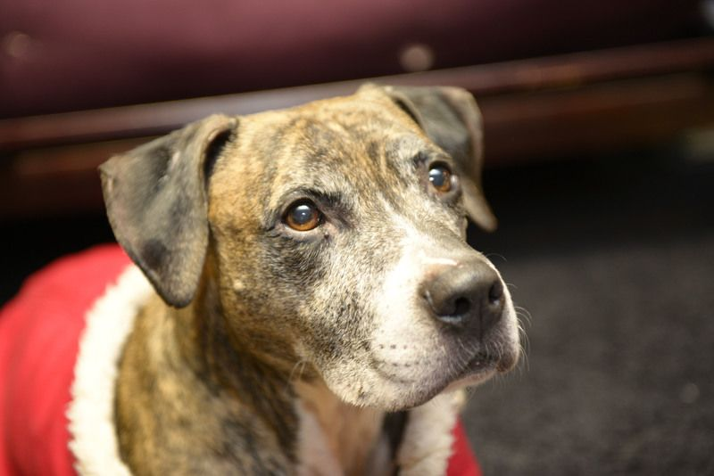 Mild mannered, mellow, and sweet, Bruno is the perfect pet looking for his forever home. Last year Bruno was left behind when his family lost their home and didn't take him along. He is now 9 years old and living with a foster family on Long...