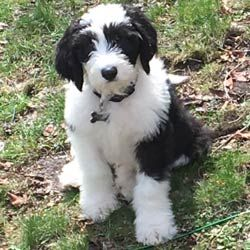 Sheepadoodle Puppy Cooper Angel Breeze Puppies In Ohio Sheepadoodle Sheepadoodle Puppy Puppies