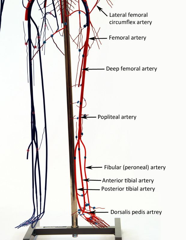 Image result for wire model of veins and arteries | Anatomy and ...
