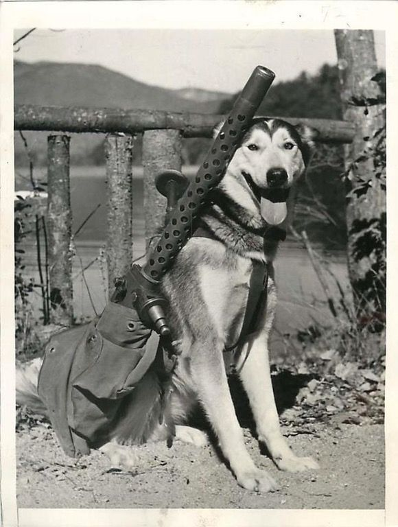 A Sled Dog Named Mukluk Is Being Trained To Carry A M1919 Machine
