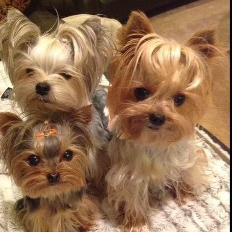 pinterest evelyn3catherine follow for more ♡☾ Yorkie