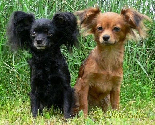 Russian Toy Dog Breed Information Russian Dog Breeds Dog Breeds