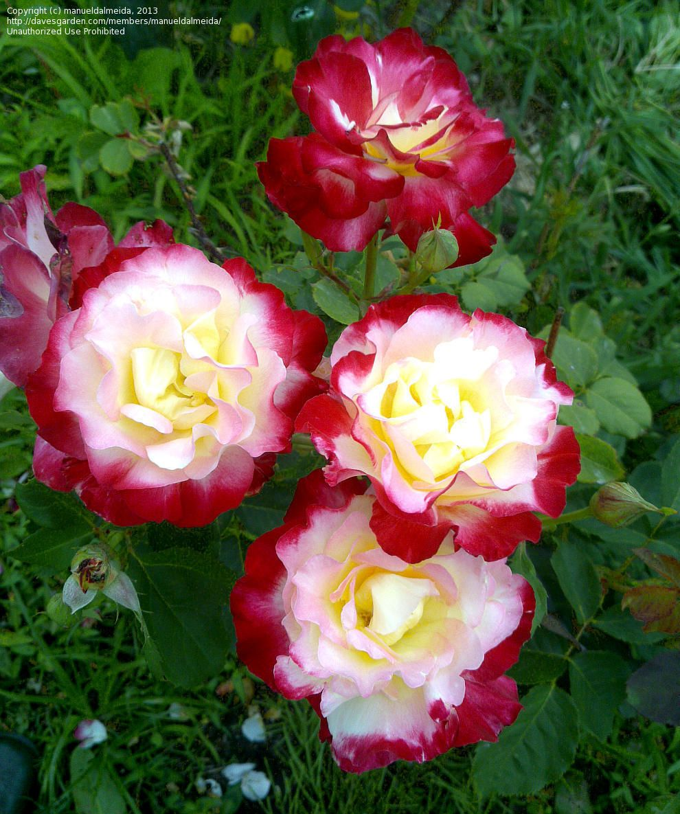 teacup full of roses Free essays & term papers - teacup full of roses, miscellaneous.